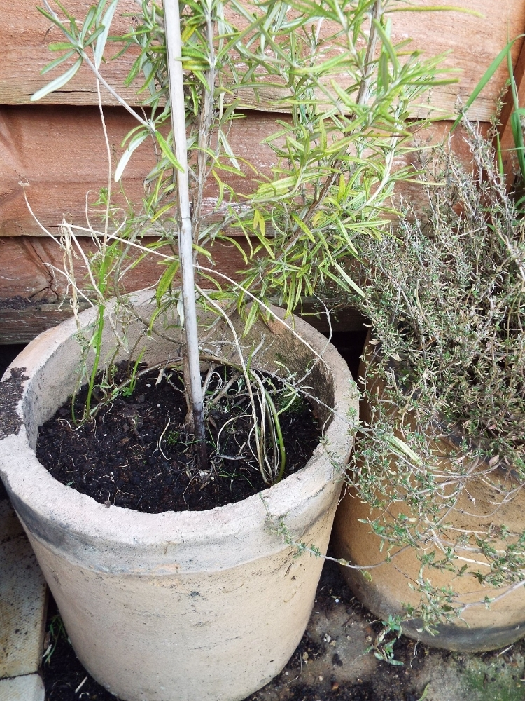 Rosemary and thyme in old chimney pots, in compost