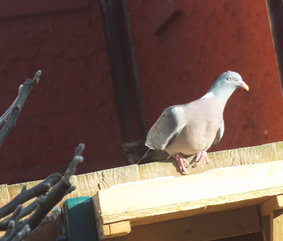 april-wood-pigeon.jpg