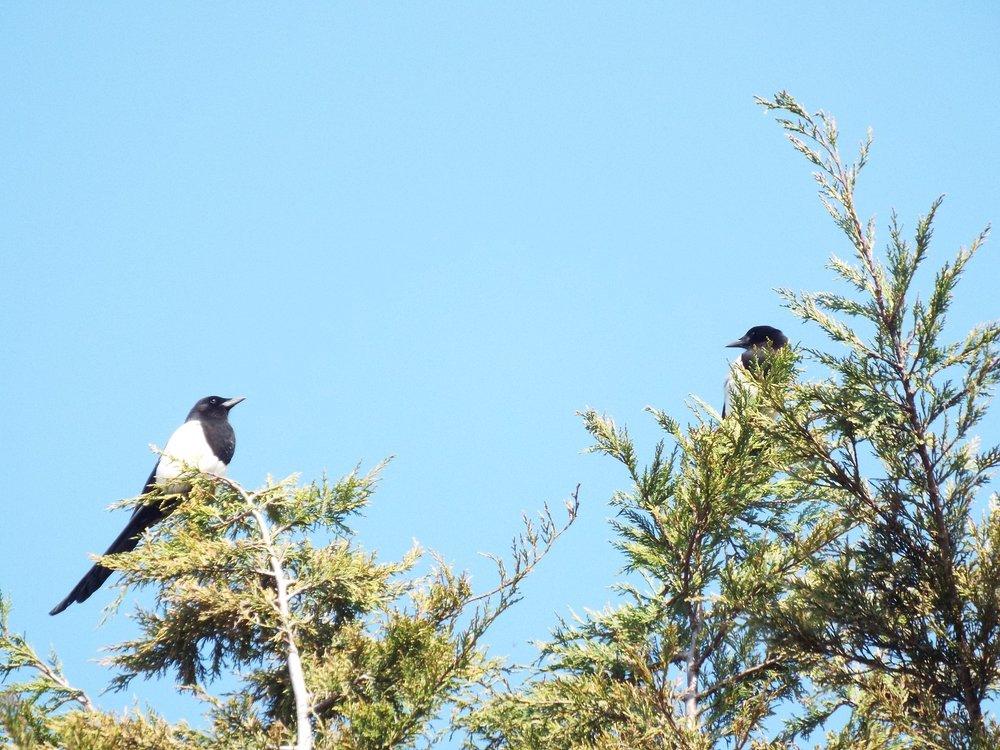 april-magpies.JPG