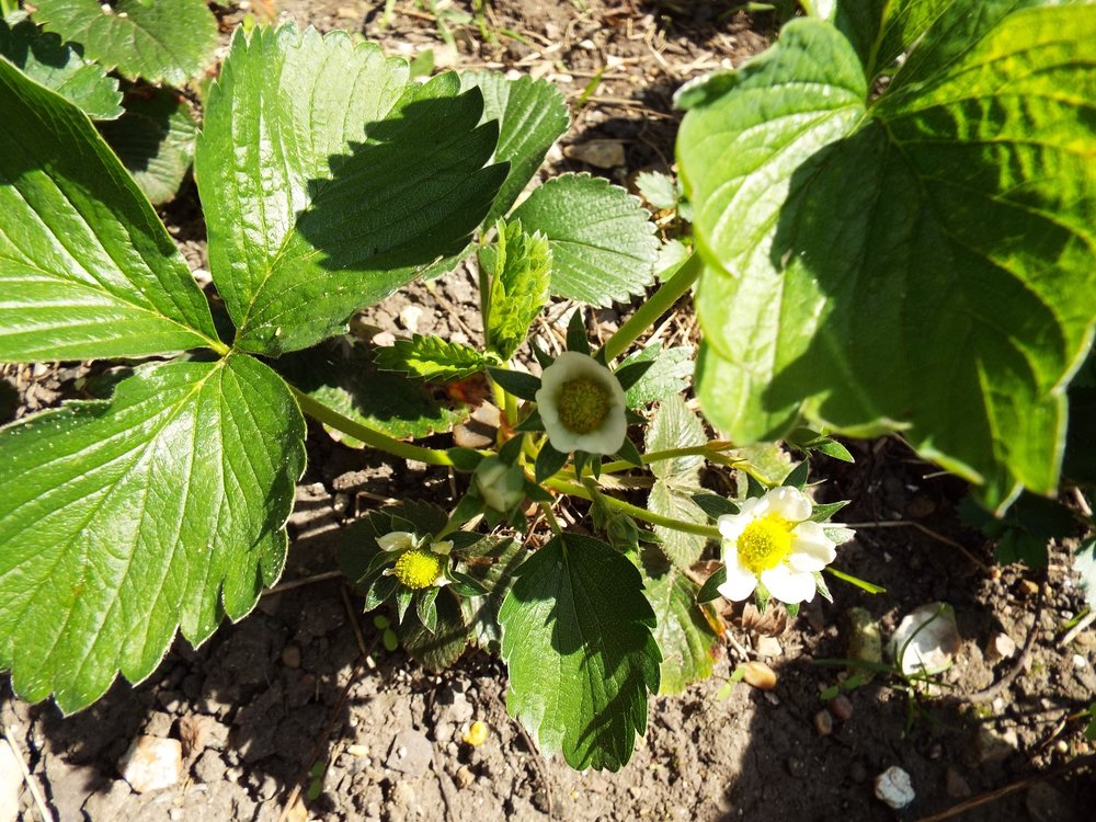 Strawberry plants - growing back from last year. The flowers will be pollinated by bees or other insects and the strawberry fruit forms.