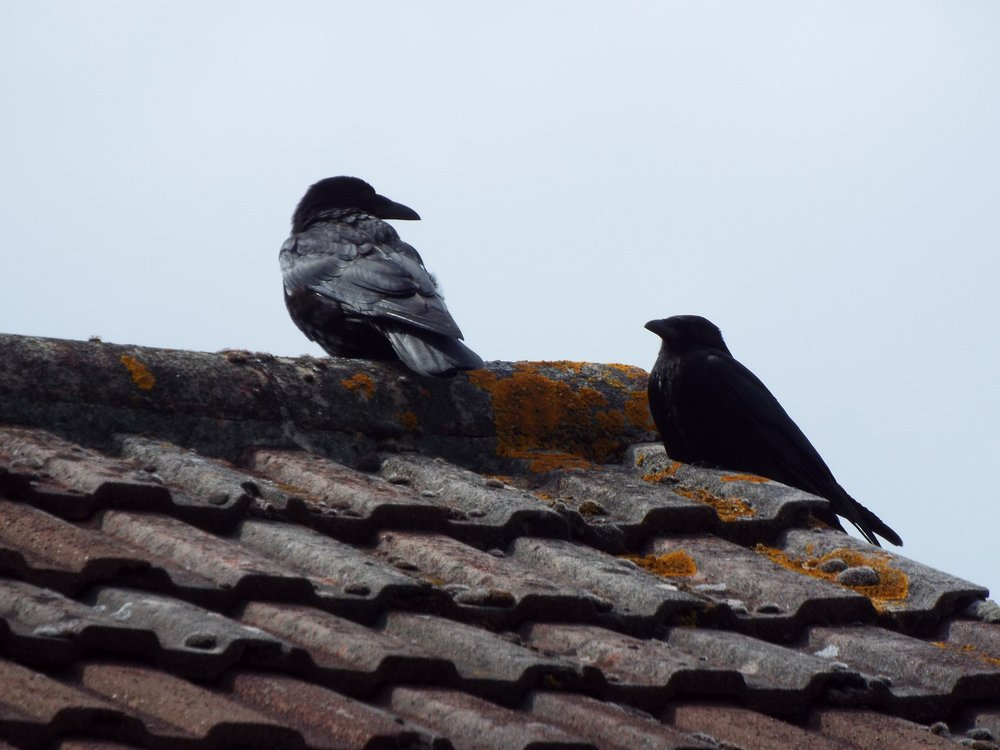 Crow parents look on