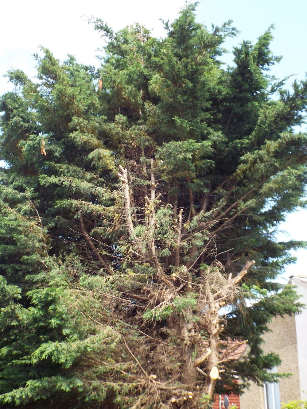 This large, established tree was 'cut back' in early June, after neighbour complaints