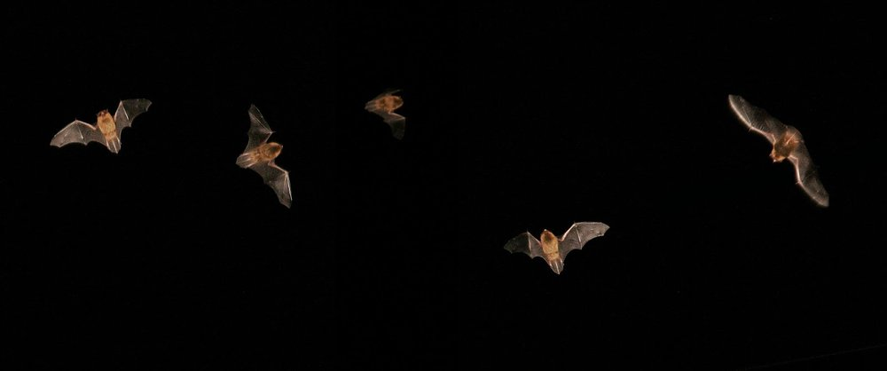 Bats in flight (Photo: Stuart Anthony, via Flickr Creative Commons and @SpeciesOfUK