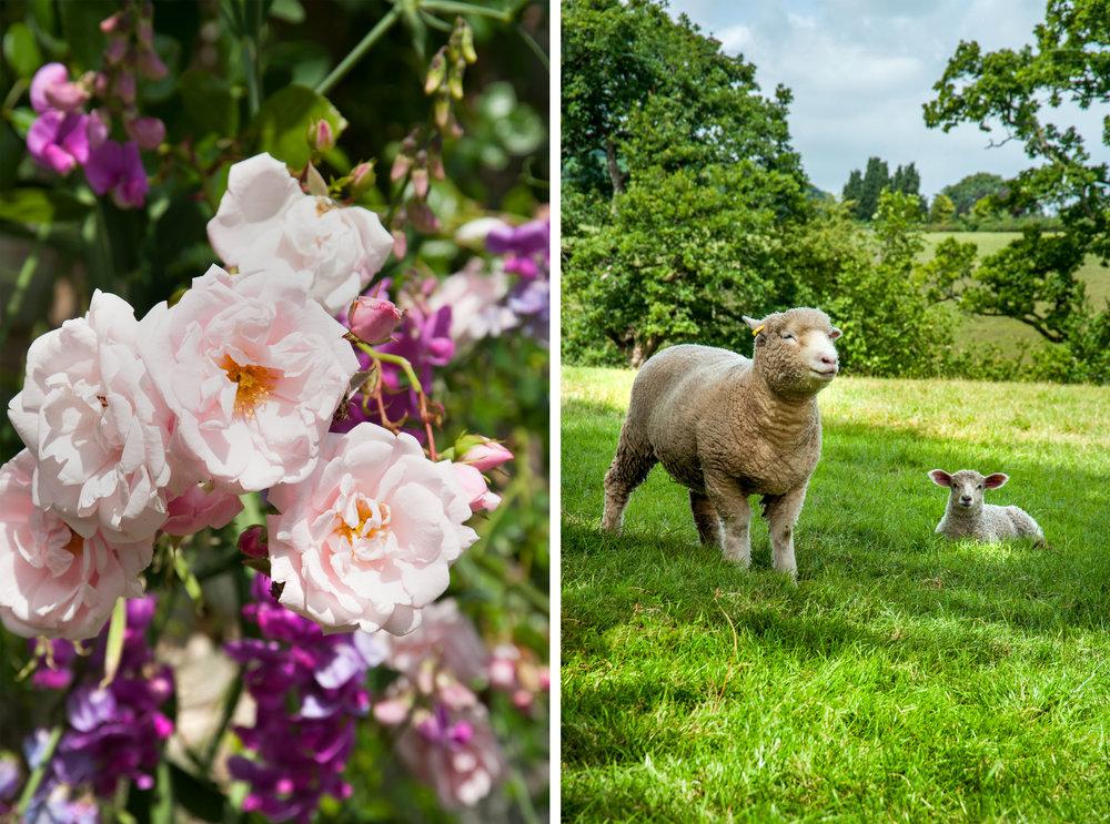 aberyscir sheep-.jpg