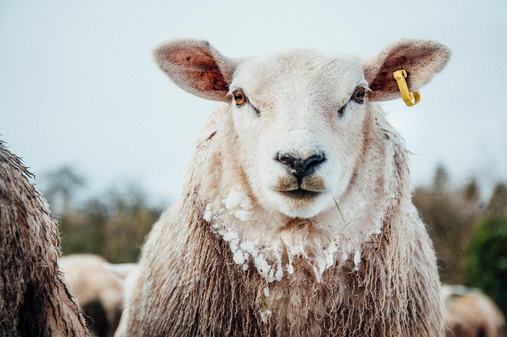 sheep 1-7211.jpg