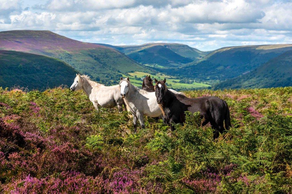 Wild Ponies Llantony-6315.jpg
