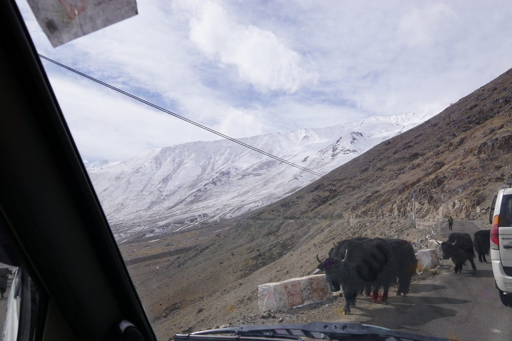 Our 5 hour journey to Nubra Valley begins with yaks on the road and no mountain goats sadly!