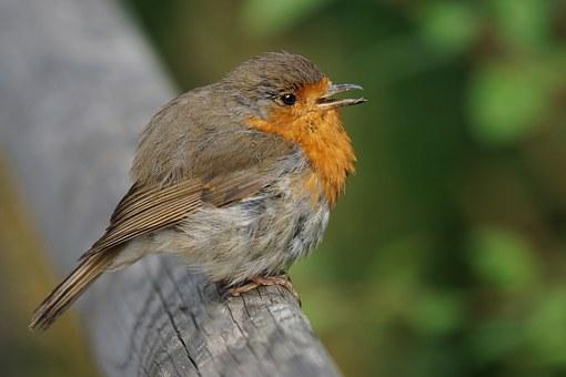 bird robin.jpg