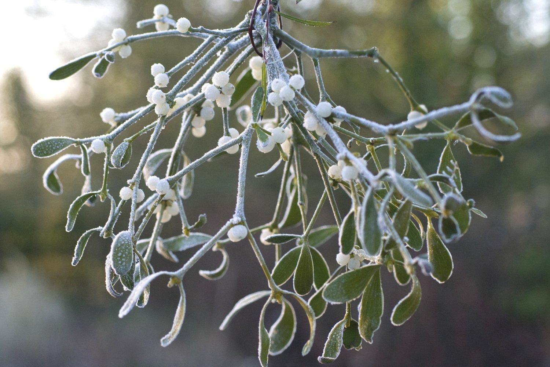 poem an ode to mistletoe becca stevens