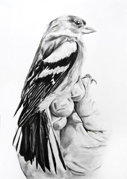 """Singvoegel Zeigen   Charcoal on paper  33.1"""" x 23.4""""  2014"""