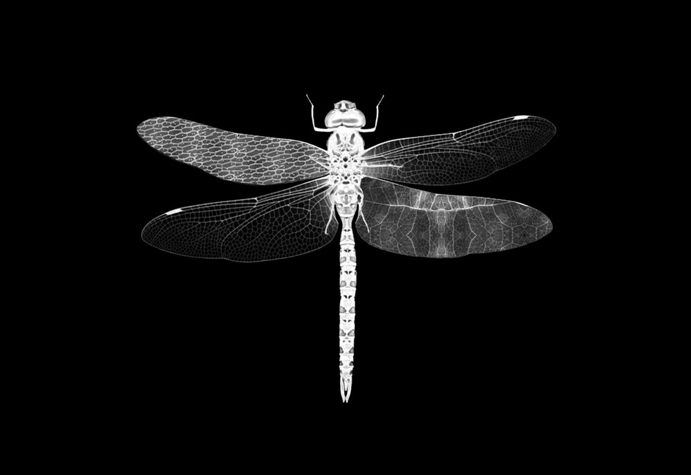 "Dragonfly   Gelatin Silver Print  24"" x 30""  2017  Edition of 10/ 2 AP"