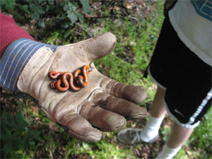 Volunteers find a ringneck snake while mulching