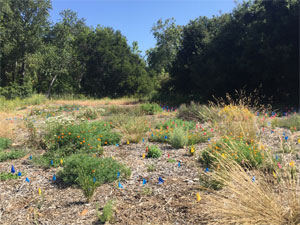 Restoring a meadow from invasive thistles to native plants