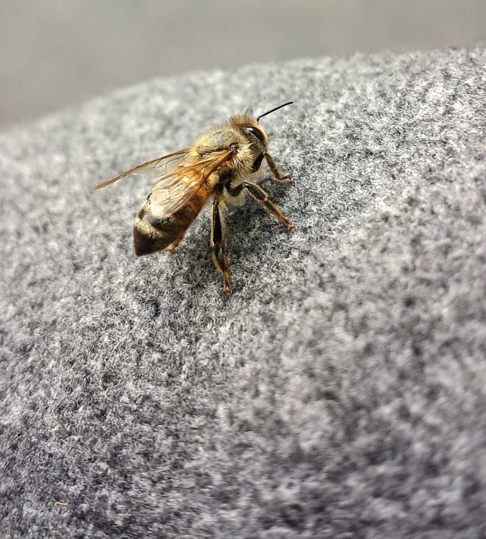 bee blog honey bee.jpg