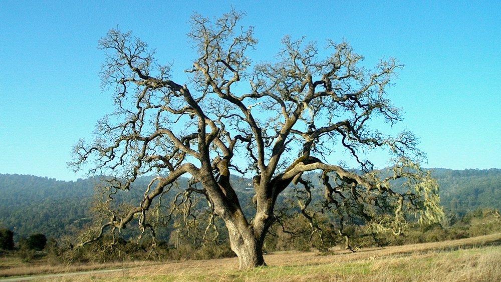 Oak+1.jpg