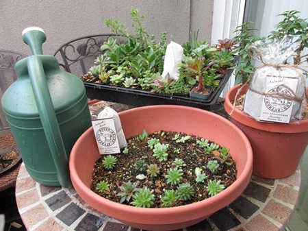 You apply both the soil supplement of coffee grounds and eggshell and water with manure tea on your succulents.