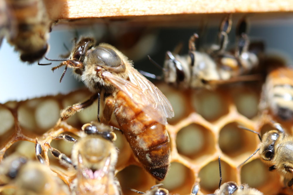 Honeybee Queen.
