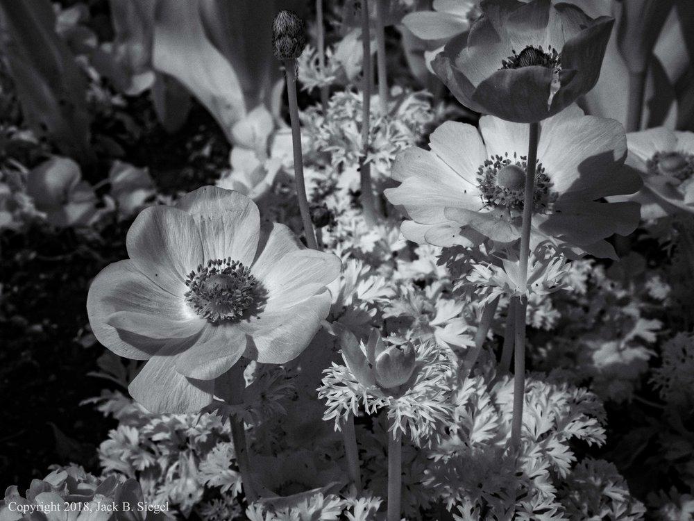 P1010176PS__Copyright_Berkshire Poppies.jpg