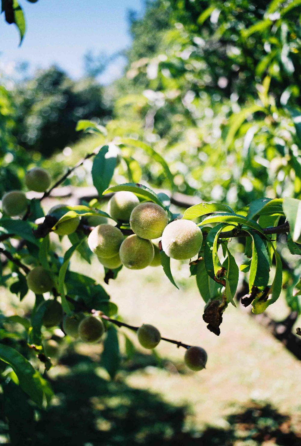 garden fruit.jpg