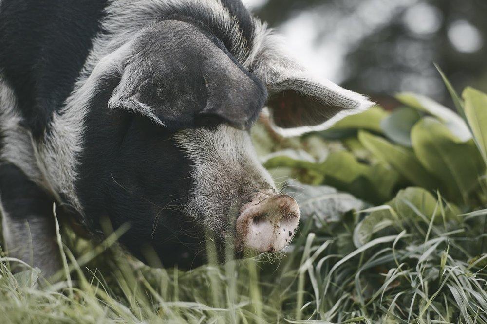 Fontmell_Pigs_7461.jpg