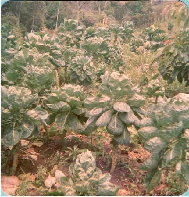 Plantação de Couve de Bruxelas,1984.