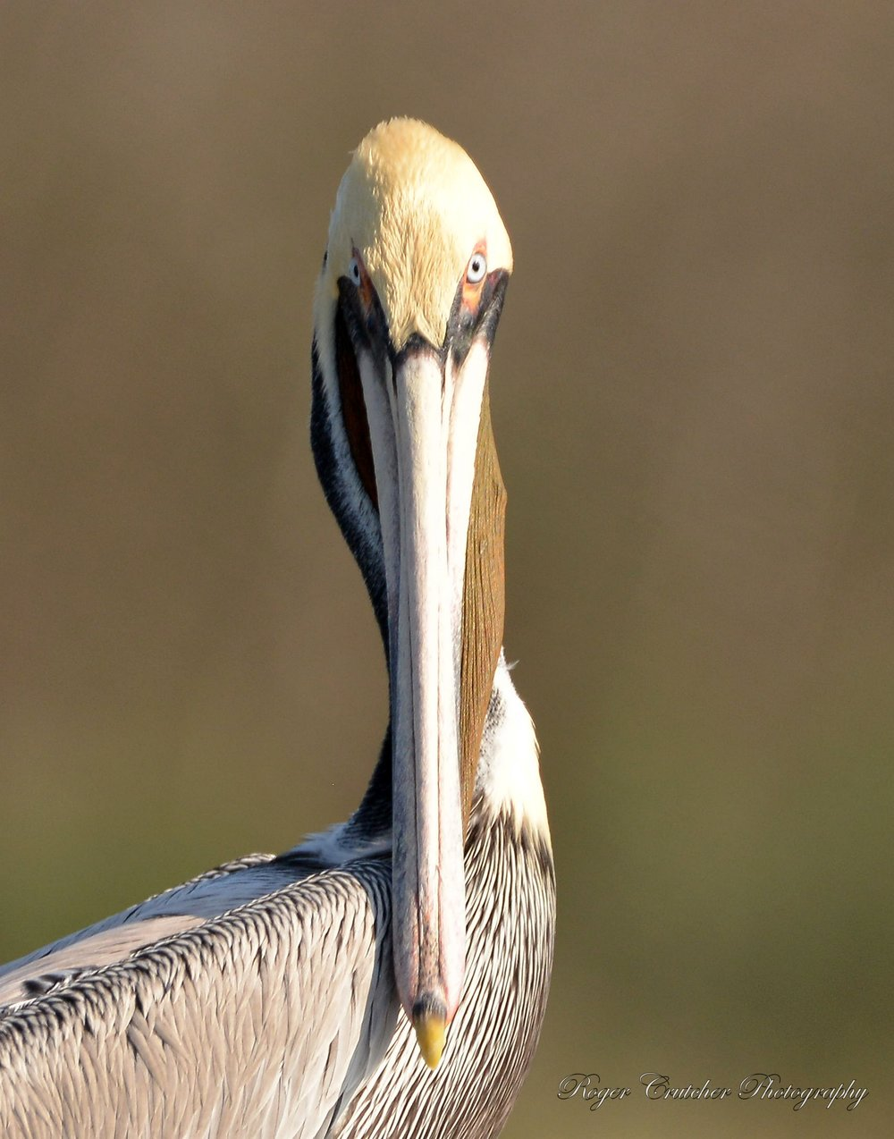Brown Pelican 13.jpg