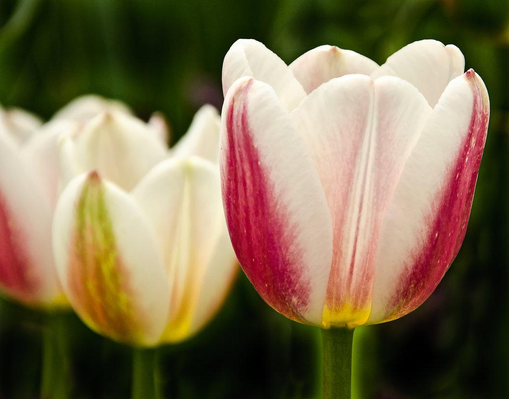 Tulips, Tulips, Tulips.jpg