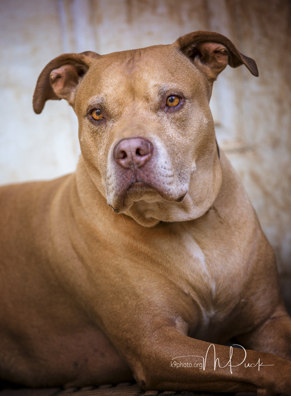 Colby - 7-year old Pit/Shar Pei Mix - For Pete's Sake Rescue