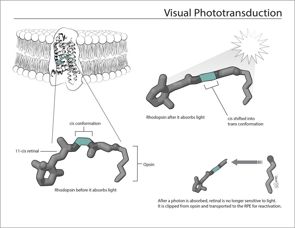 Visual Phototransduction