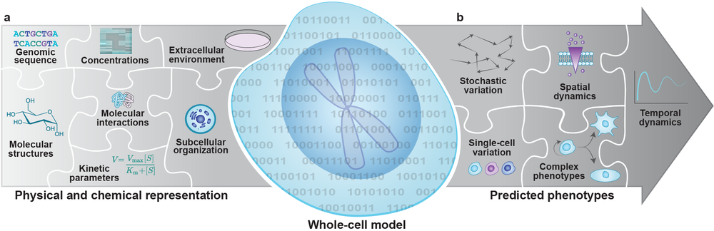 Whole-cell computational model figure