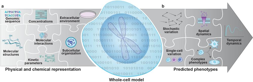 Whole-cell computational model figure