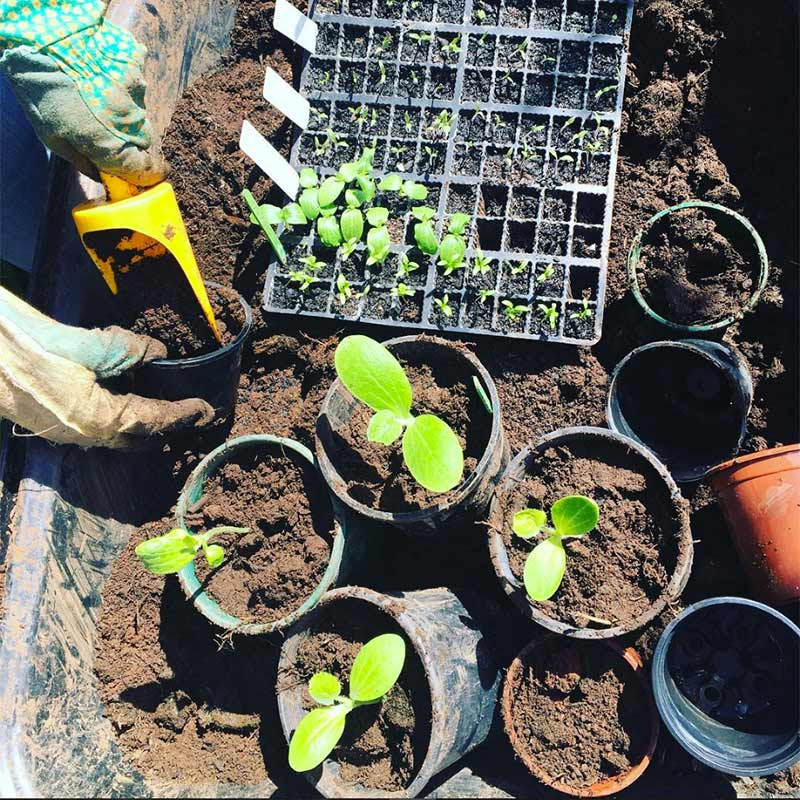 Potting up the cucumbers. Getting ready for summer veges.