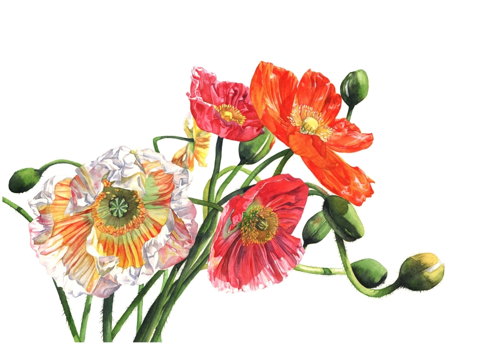 Poppies -Louise-Demasi-watercolour