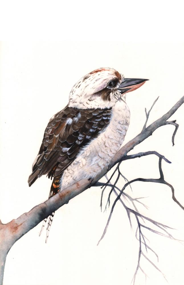 Kookaburra-Louise-demasi