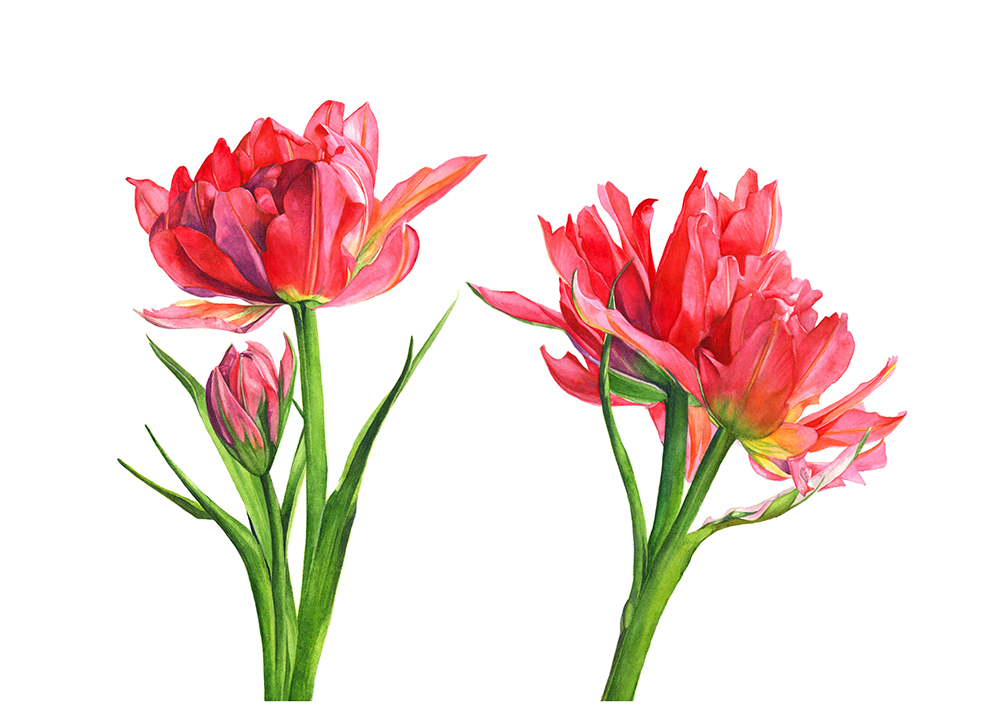 T6115-Tulips print ready_edited-2.jpg