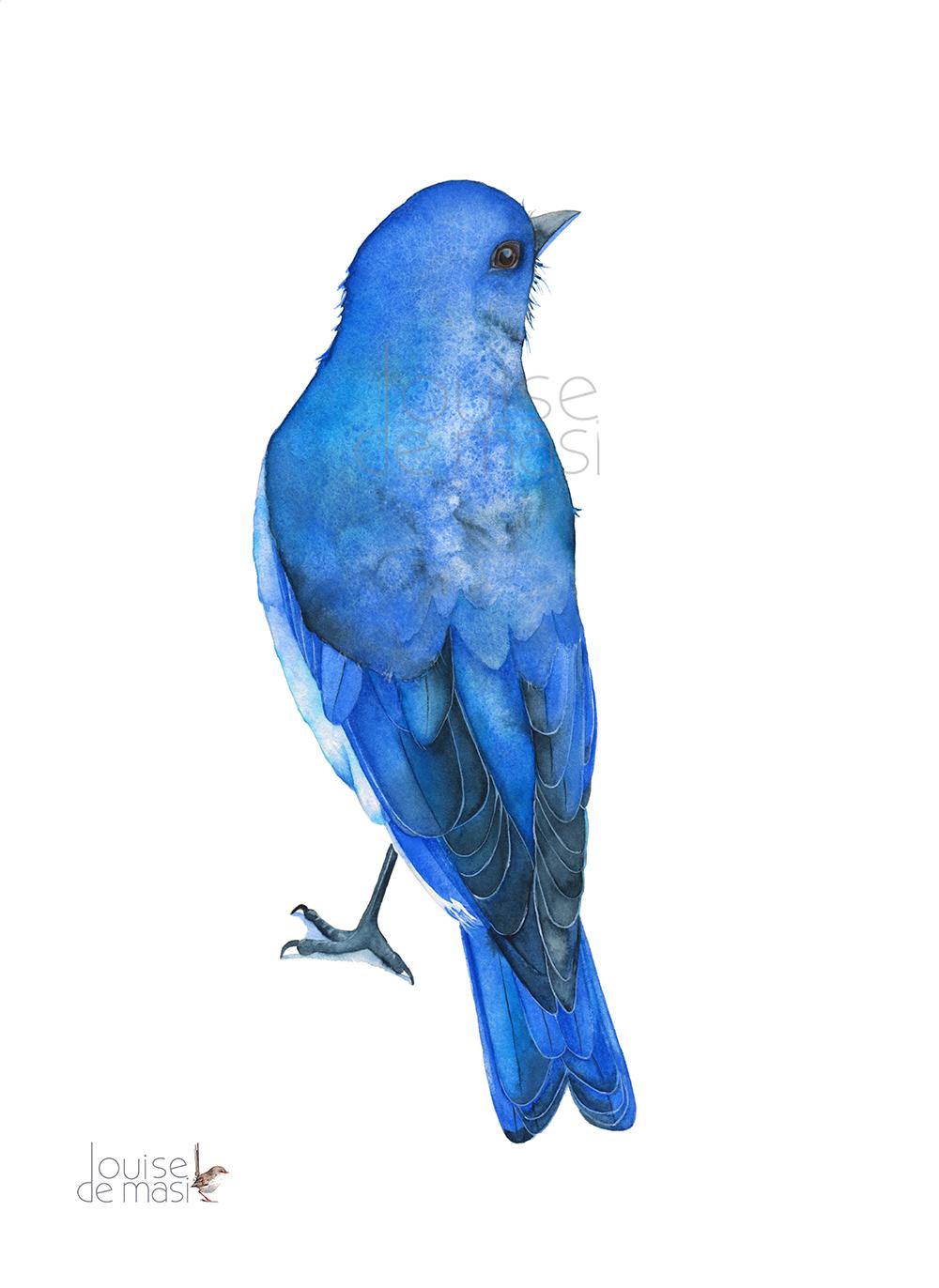 Mountain Bluebird Watercolour on paper.