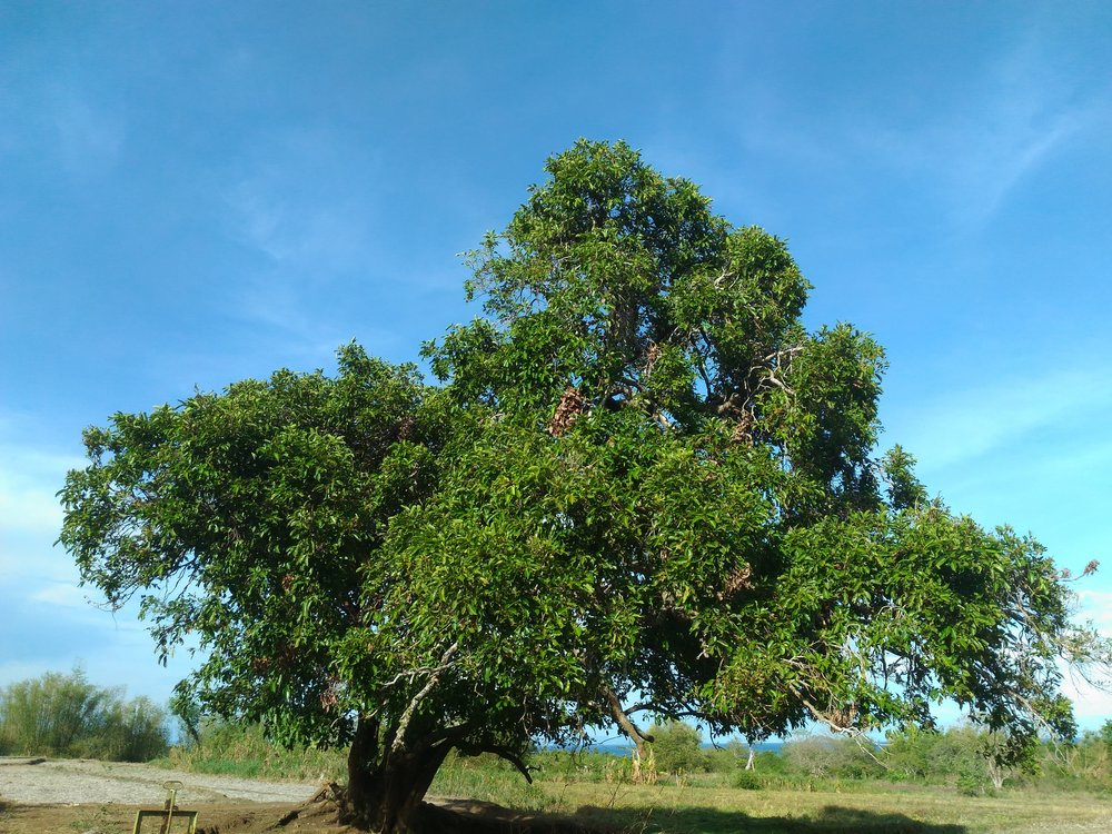 Lomboy Tree