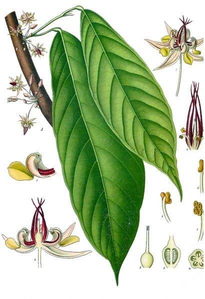 Theobroma_cacao_-_K_C3_B6hler_E2_80_93s_Medizinal-.jpg