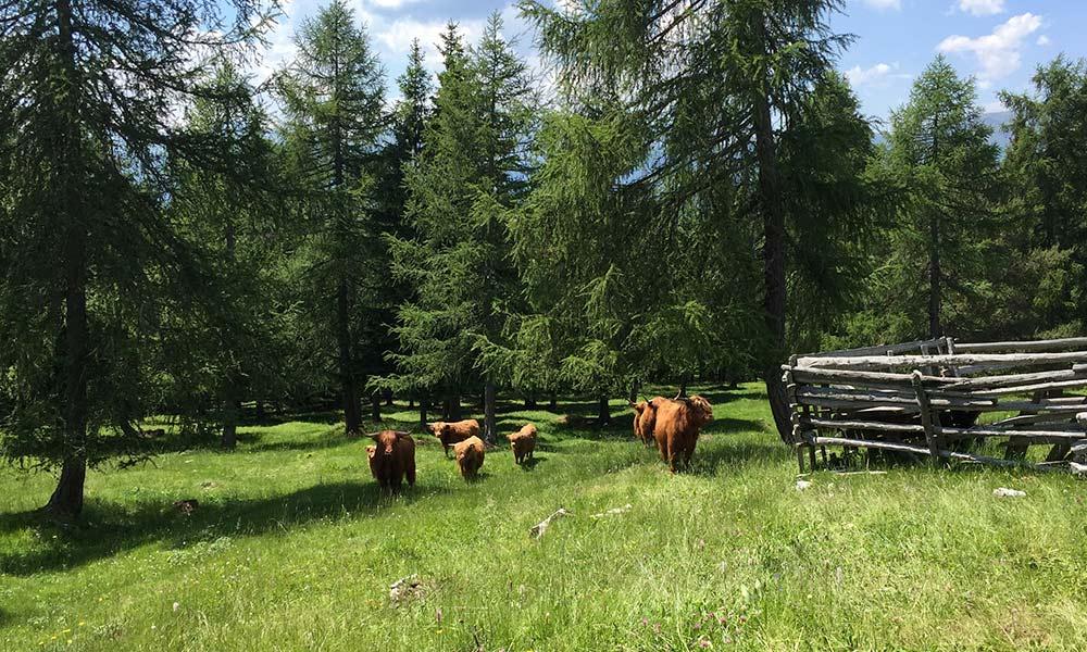 schottische-hochlandrinder-weide-sommer-herde-berghuette.jpg