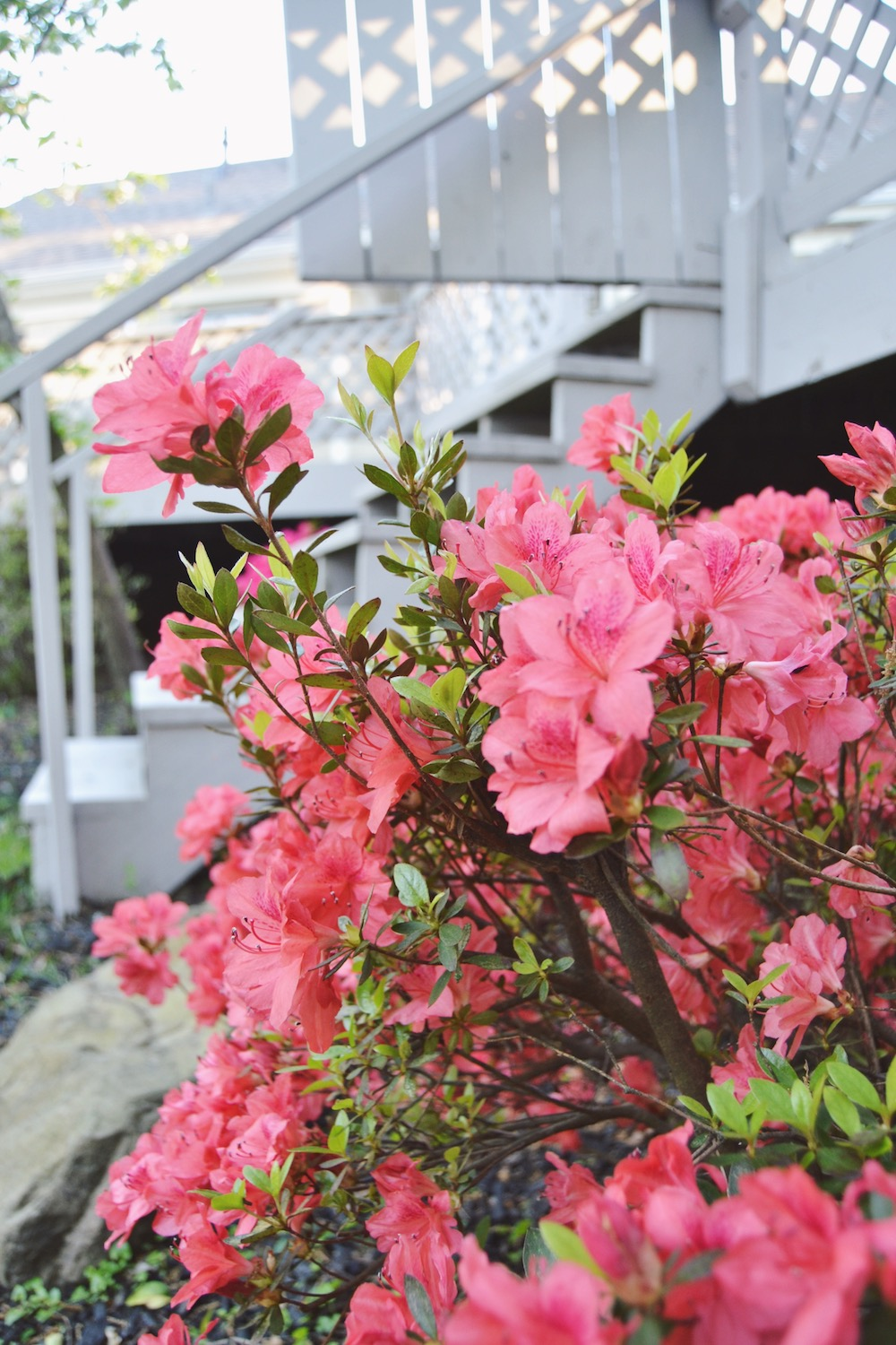 white-deck-and-pink-azaleas