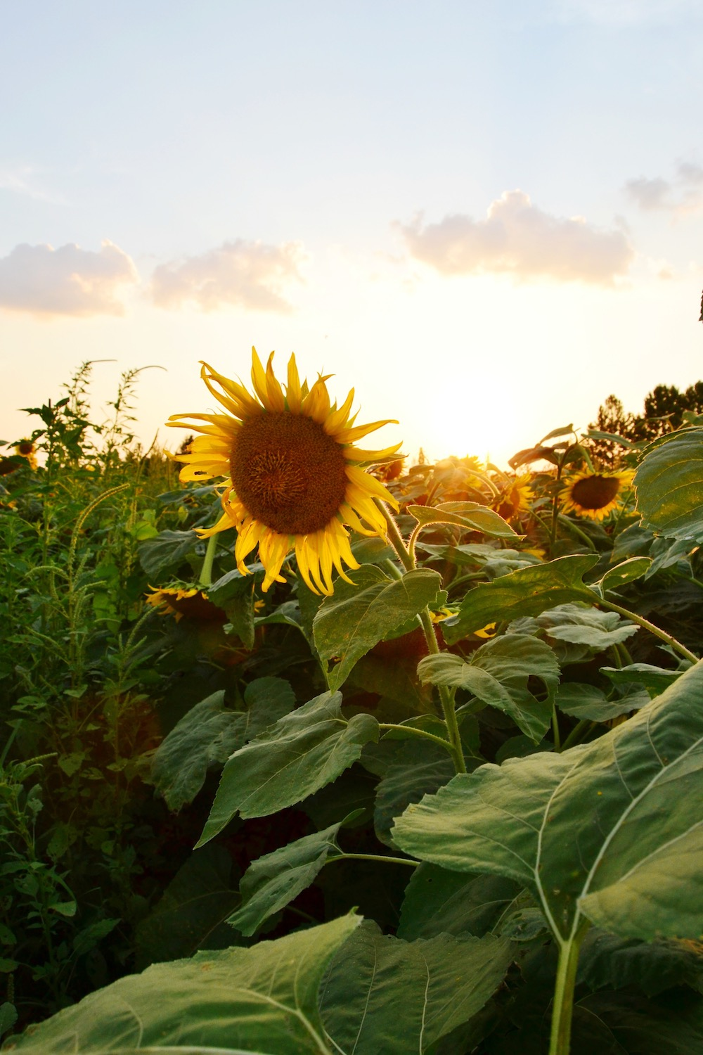 shelby-farms-sunflower-field.JPG