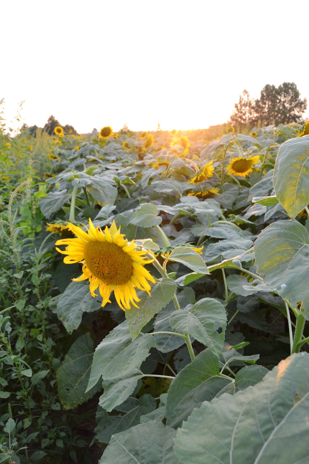 agricenter-sunflowers-memphis.JPG