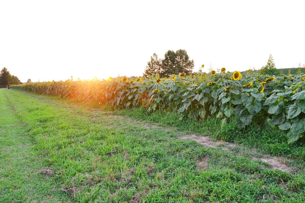 agricenter-memphis-sunflower-field.JPG