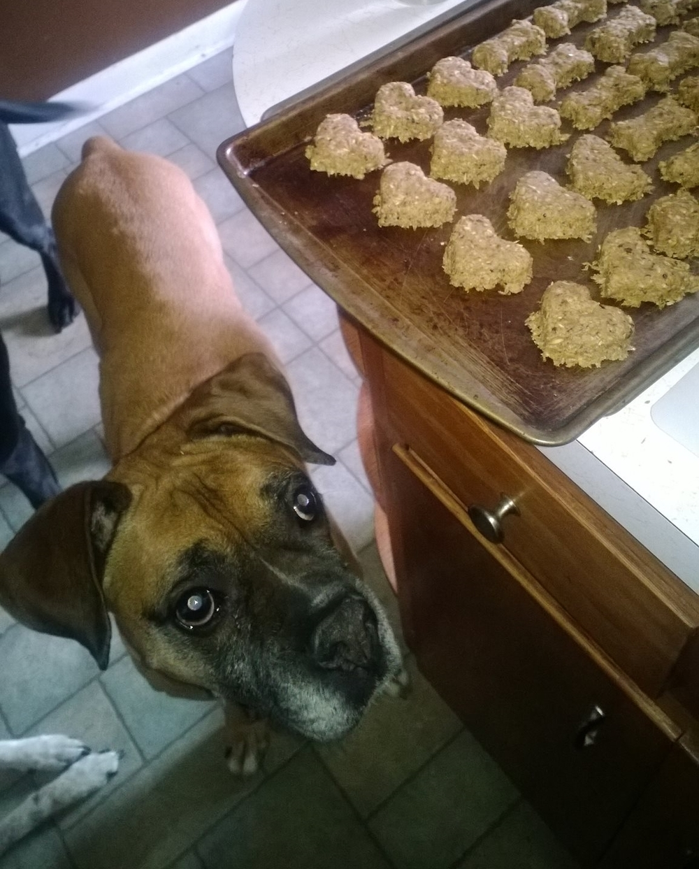 Buster waiting as patiently as possible for the treats to cool. He insists I make his treats in the shapes of hearts and bones in honor of his favorite Paul Simon song.