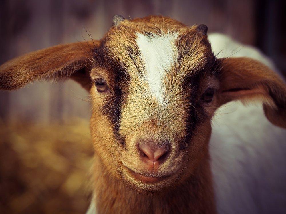 Goat 4.jpg