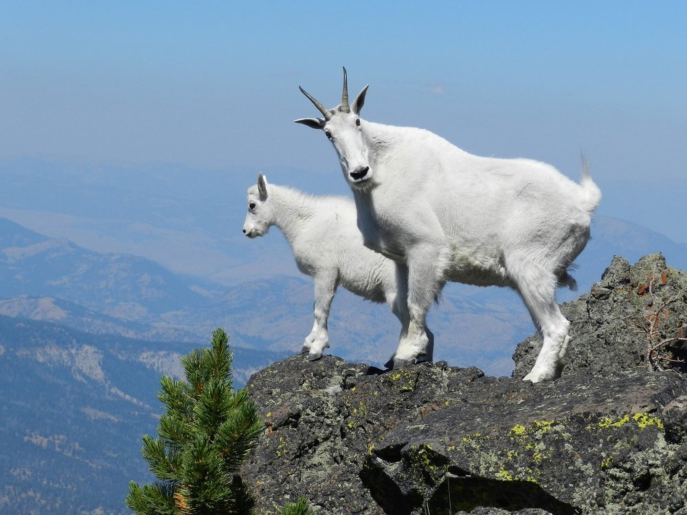 mountain-goats-869176_1920.jpg