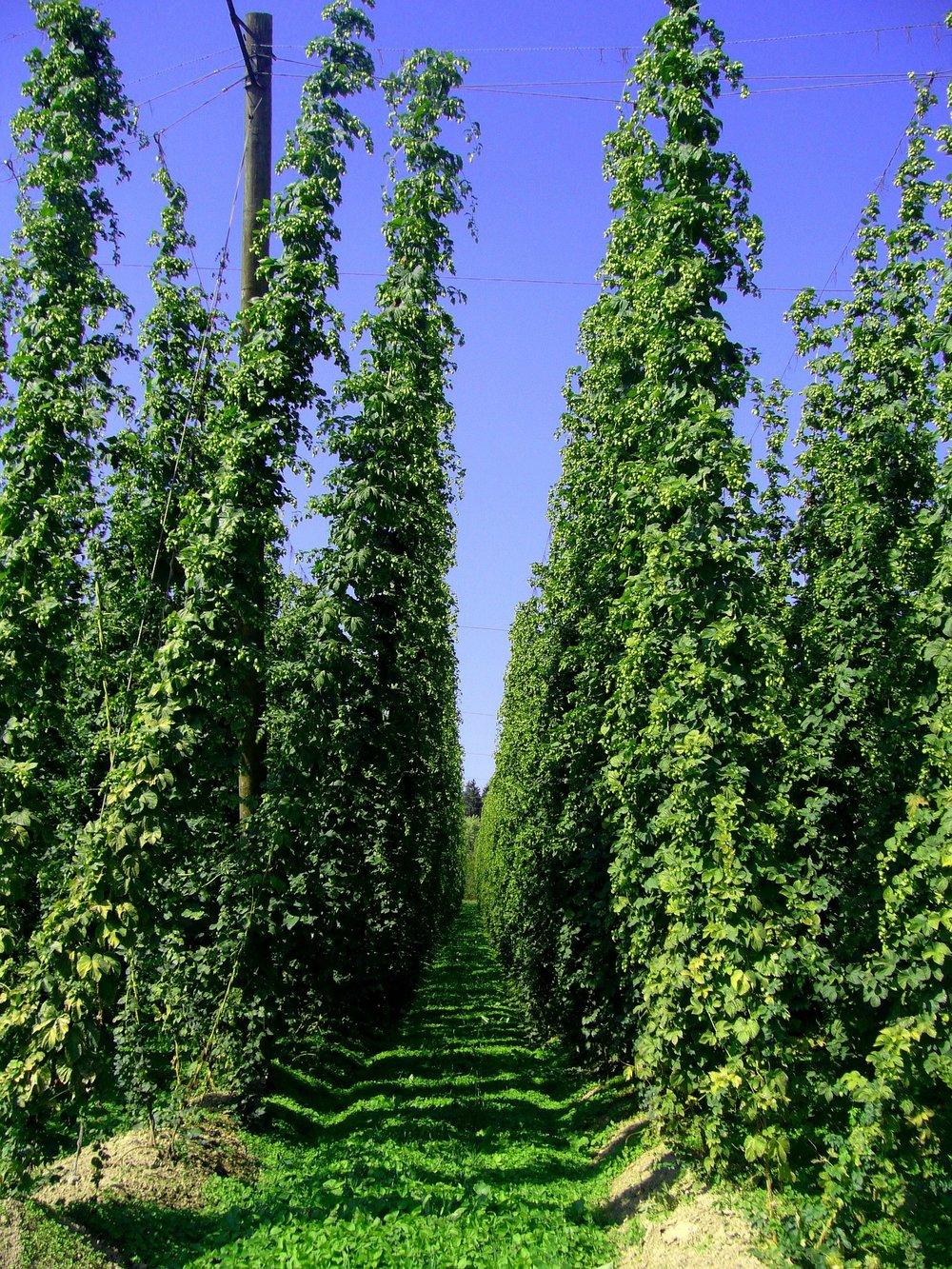 hop-vines-240579_1920.jpg