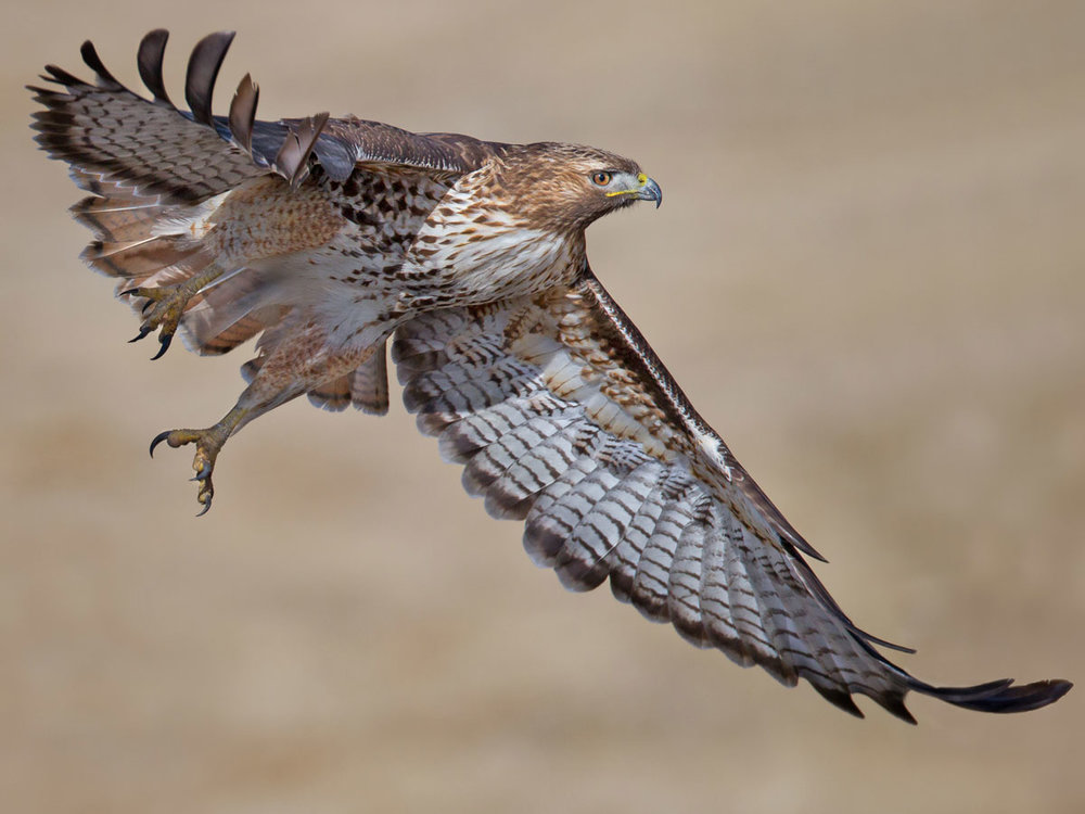 red-tailed-hawk-immature.jpg