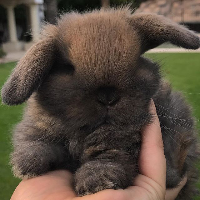 PC: AZ Bunnies  #hollandlop azbunnies.com