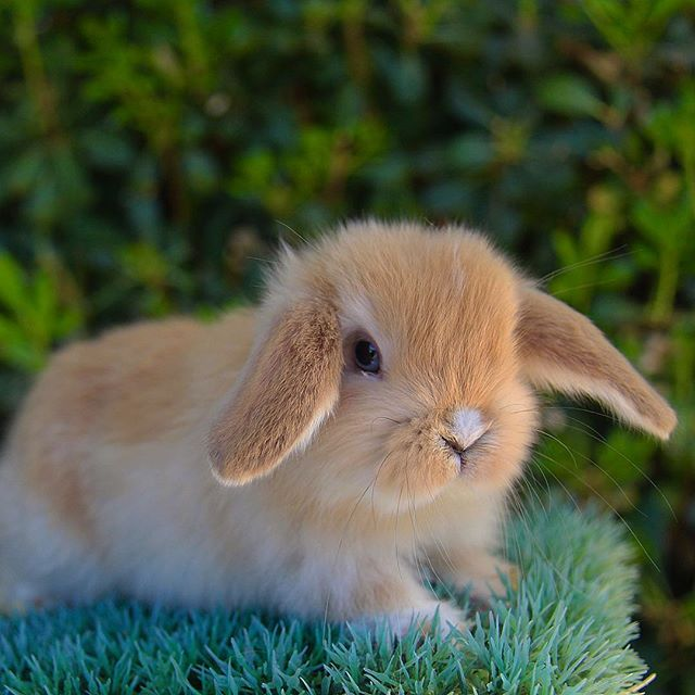 Azbunnies.com #hollandlop #hollands #lops #bunny #cutenessoverload #az #bunnies